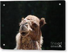 Dromedary Camel Face Acrylic Print