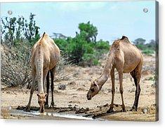 Dromedary Camels Drinking Acrylic Print