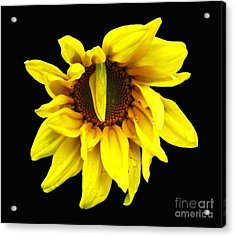 Droops Sunflower With Oil Painting Effect Acrylic Print by Rose Santuci-Sofranko