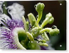 Drop Of Passion Acrylic Print by Priya Ghose