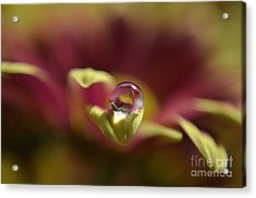 Drop On Petal Acrylic Print