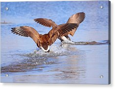 Dual Landing Acrylic Print by Valarie Davis
