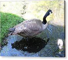 Duck - Animal - 01132 Acrylic Print by DC Photographer