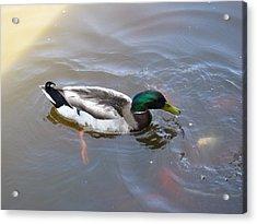 Duck - Animal - 01135 Acrylic Print by DC Photographer