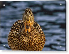 Acrylic Print featuring the photograph Duck by Brian Cross