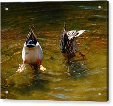 Duck Butts Acrylic Print by Steven Reed