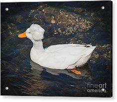 White Crested Duck Acrylic Print by Ernest Puglisi