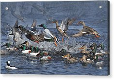 Duck Frenzy Acrylic Print by Angie Vogel
