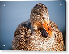 Duck In Water Acrylic Print