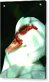 Duck Acrylic Print by Jennifer Burley