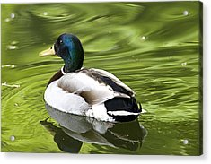 Duck On A Green Pond Acrylic Print by Tony Reddington