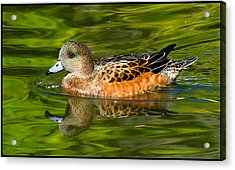 Young Female Mallard Duck Acrylic Print
