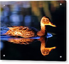 Duck On A River With Refletion Acrylic Print