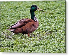 Duck On Watercress Acrylic Print by David Warner