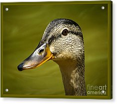 Duck Protrait Acrylic Print by Brenda Bostic
