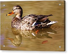 Duck Reflection Acrylic Print by Paulette Thomas