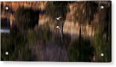 Duck Scape 2 Acrylic Print
