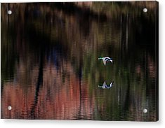 Duck Scape 3 Acrylic Print