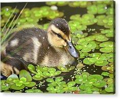 Duck Soup 3 Acrylic Print