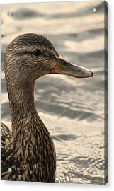 Duck Up Close Acrylic Print by Alicia Knust