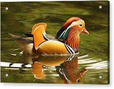 Duck Wild - Mandarin Acrylic Print by DerekTXFactor Creative