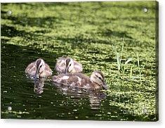 Duckies Three Acrylic Print by Sharon Talson
