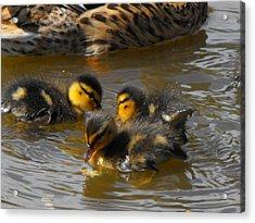 Duckling Splash Acrylic Print