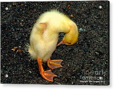 Duckling Takes A Bow Acrylic Print