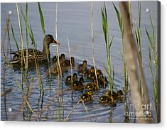 Ducklings And Mom Acrylic Print by Tannis  Baldwin