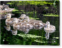 Ducklings Five Acrylic Print by Sharon Talson