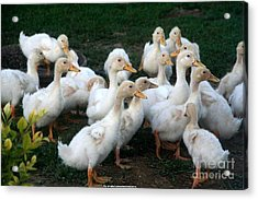 Ducklings In Clay Center Kansas Acrylic Print by PainterArtist FIN