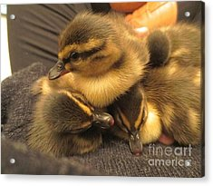 Ducklings  Acrylic Print