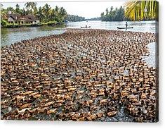Ducks Being Herded Along The Waterway Acrylic Print by Peter Adams