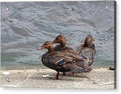 Ducks Covered In Oil Acrylic Print by Jim West