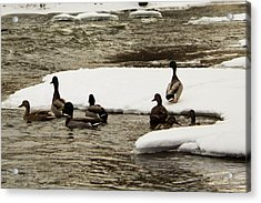 Ducks Acrylic Print by Duncan Lewis