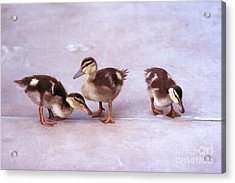 Ducks In A Row Acrylic Print by Clare VanderVeen