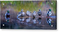 Ducks In A Row Acrylic Print