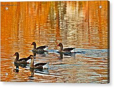 Acrylic Print featuring the photograph Ducks In The Fall by Lynn Hopwood