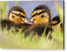 Ducktwins Acrylic Print by Roeselien Raimond