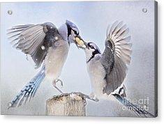 Dueling Jays Acrylic Print