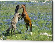 Dueling Mustangs Acrylic Print