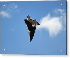 Duelling Raptors Acrylic Print