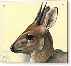 Duiker Acrylic Print by Dreyer Wildlife Print Collections