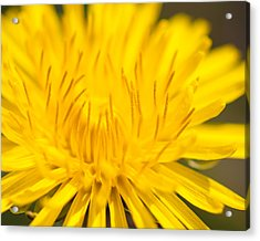 Acrylic Print featuring the photograph Dulcet Dandelion by Len Romanick