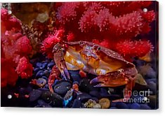 Dungeness Crab Acrylic Print