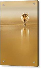Dunlin Reflection Acrylic Print by Mario Su?rez