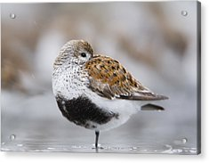 Dunlin Roosting With Western Sandpipers Acrylic Print