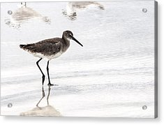 Dunlin Sandpiper Acrylic Print