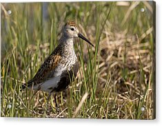 Dunlin Standing In Tall Sedge Grass On Acrylic Print