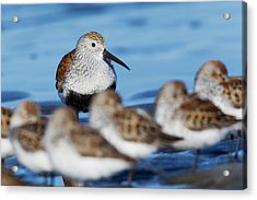 Dunlin With Resting Sandpipers Acrylic Print